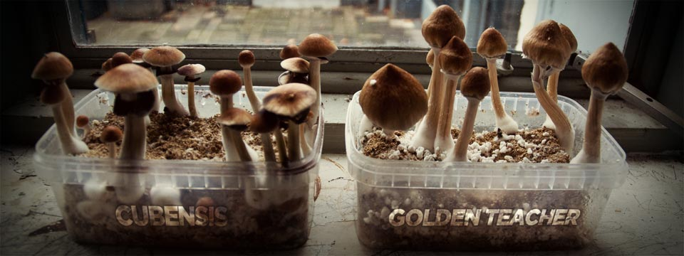 golden teacher grow box