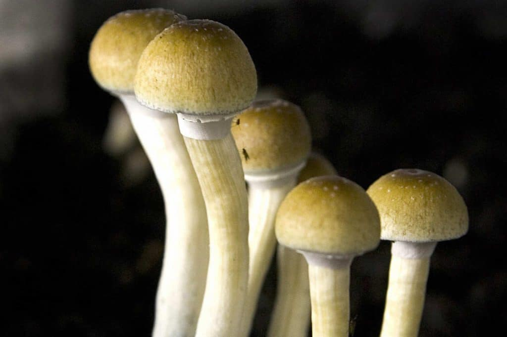 magic-mushrooms-psilocybin studie depressionen